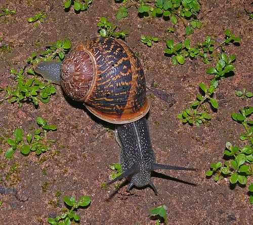 500px-snail-wiki-120-zachi-evenor